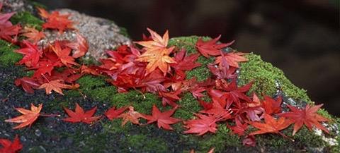november-1 momiji (1)