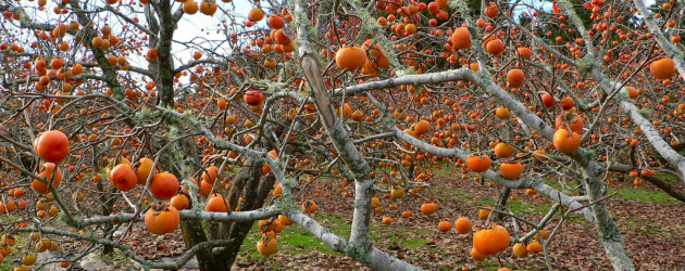 Persimmon3.png