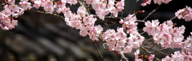kyoto_sakura_japan_spring.jpg