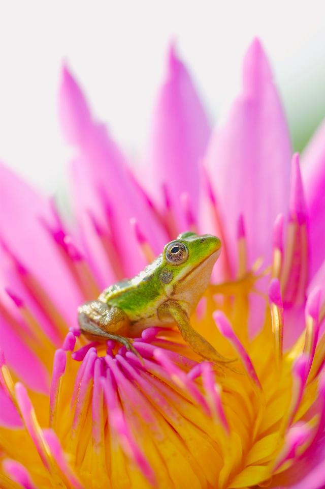 pink frog lotus