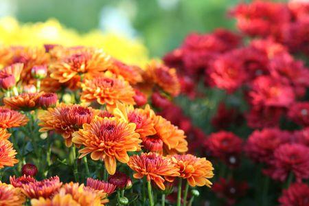 red-orange-chrysanthemums