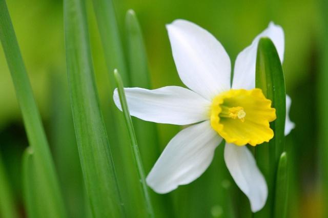 narcissus flower December.jpg